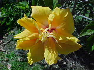 A Yellow flower in the churchyard in Russell, Northland, New Zealand (New Zealand, The Travel Addicts, North Island)