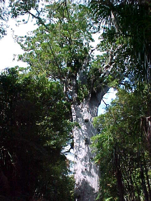 The dimensions of Tane Mahuta are:.  Trunk Height 17.7m.  Trunk Girth 13.8m.  Total Height 51.5m.  Volume 244.5m³.  .  A nearby sign said:.  In Maori cosmology Tane is the son of Ranginui the Sky Father and Papatuanuku the Earth Mother.   Tane tore his parents apart, breaking their primal embrace, to bring light, space and air and allowing life to flourish.  .  Tane is the life-giver - all living creatures are his children.  .  This is the largest living Kauri tree in New Zealand.   It is difficult to accurately estimate the age of Tane Mahuta.   But, it may be that Tane Mahuta sprang from seed around 2000 years ago, during the lifetime of Christ.   (New Zealand, The Travel Addicts, North Island)