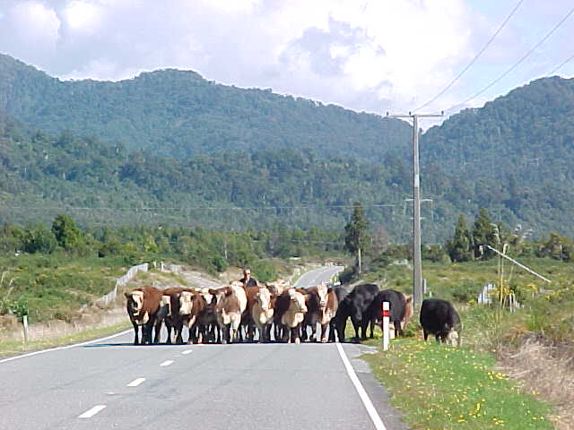 Stock being driven down the roads is a common site on the South Island (The Travel Addicts, South Island, New Zealand)