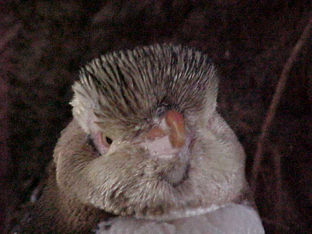 The head of a Yellow Eyed penguin named Ed.  .   (New Zealand, The Travel Addicts, South Island)