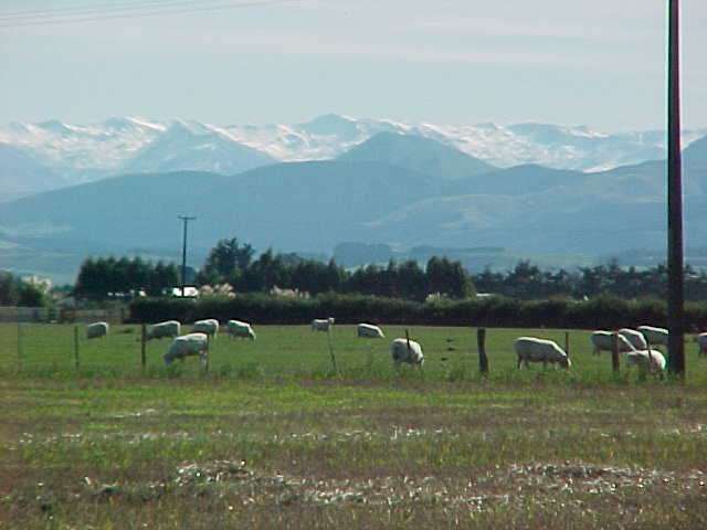 pasture full of sheep with snow covered mountains in the background.   (New Zealand, The Travel Addicts, South Island)