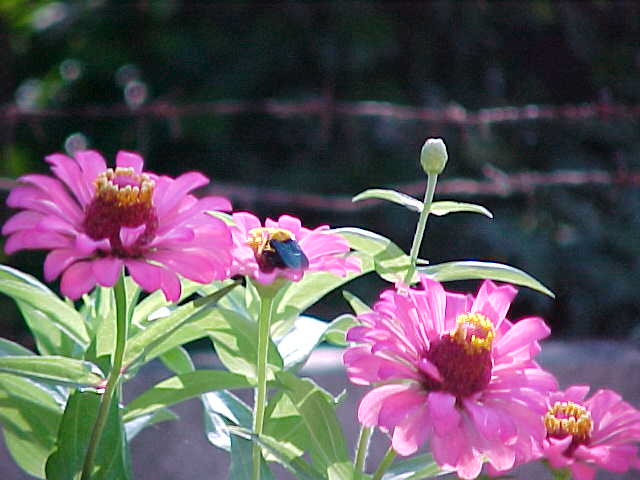 Purplish pink flowers that almost look like daisys