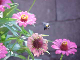 Indonesian bee pollinating the daisy-like flowers