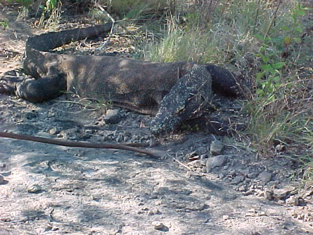 Komodo Dragons.  Location:Komodo National Park, Komodo, Nusa Tenggara Timur, Indonesia (Indonesia, The Travel Addicts, Komodo)