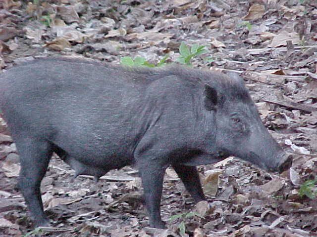 Wart Hog.  Location:Komodo National Park, Komodo, Nusa Tenggara Timur, Indonesia (Indonesia, The Travel Addicts, Komodo)