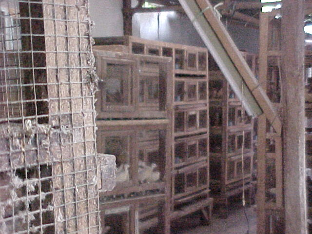 Pigeons in cages behind a restaurant (Indonesia, The Travel Addicts)