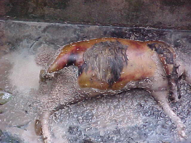 Death and maggotts : Since it's a pig, no Muslim will touch it to clean it up. It will stay here in the gutter until it rots completly away. \  (Malaysia, The Travel Addicts)