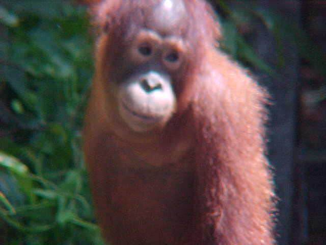 MVC-874S-Child. Sepilok Orangutan Rehabilitation Centre, Sabah, Malaysia (The Travel Addicts, Malaysia)