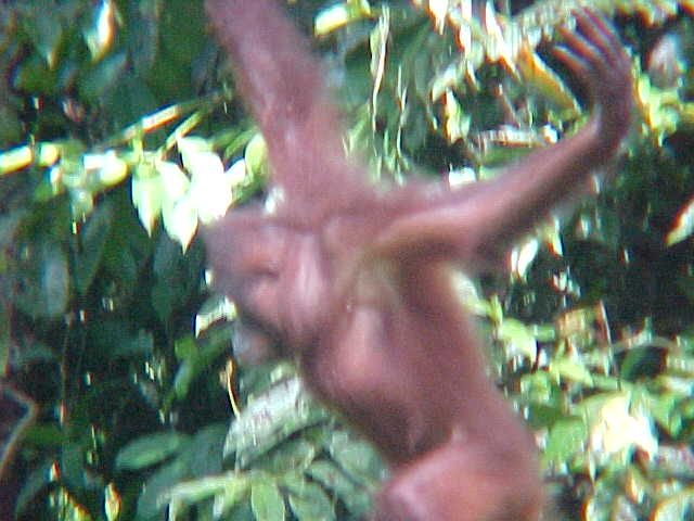MVC-875S. Sepilok Orangutan Rehabilitation Centre, Sabah, Malaysia (The Travel Addicts, Malaysia)