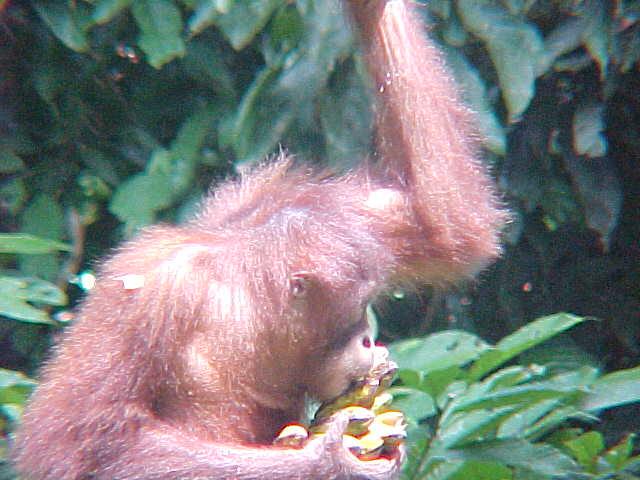 MVC-877S-Eating. Sepilok Orangutan Rehabilitation Centre, Sabah, Malaysia (The Travel Addicts, Malaysia)