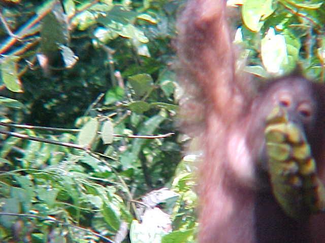 MVC-878S. Sepilok Orangutan Rehabilitation Centre, Sabah, Malaysia (The Travel Addicts, Malaysia)