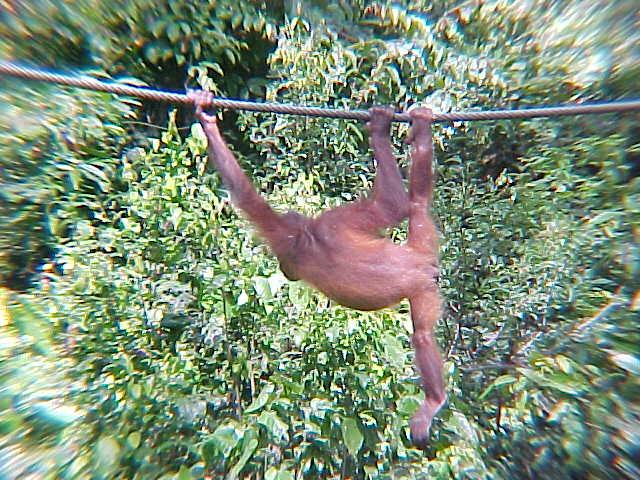 MVC-880S-Hanging out.... Sepilok Orangutan Rehabilitation Centre, Sabah, Malaysia (The Travel Addicts, Malaysia)