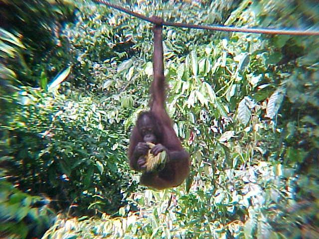 MVC-881S. Sepilok Orangutan Rehabilitation Centre, Sabah, Malaysia (The Travel Addicts, Malaysia)