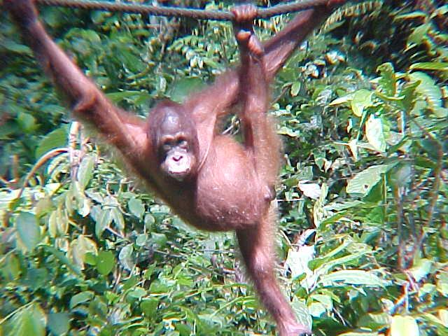 MVC-884S. Sepilok Orangutan Rehabilitation Centre, Sabah, Malaysia (The Travel Addicts, Malaysia)