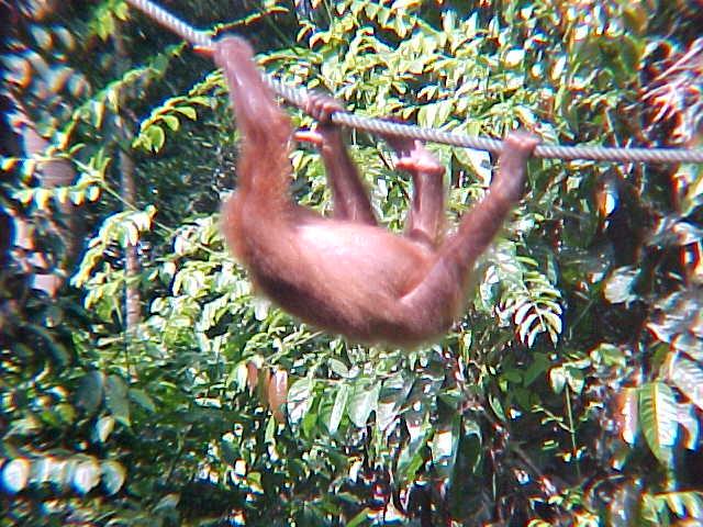 MVC-885S-Upside down. Sepilok Orangutan Rehabilitation Centre, Sabah, Malaysia (The Travel Addicts, Malaysia)