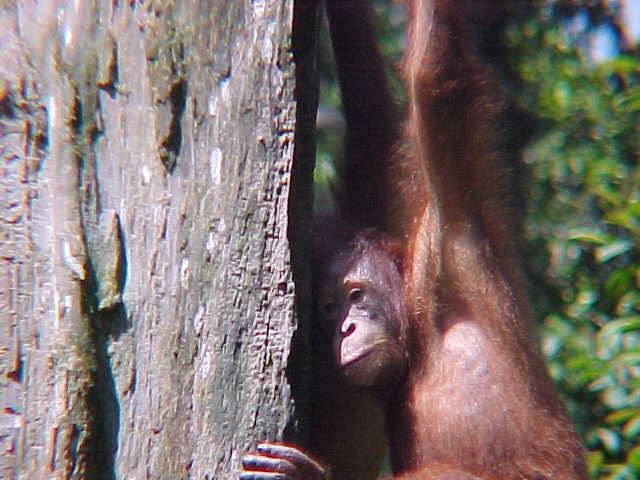 MVC-886S-Juvenile male. Sepilok Orangutan Rehabilitation Centre, Sabah, Malaysia (The Travel Addicts, Malaysia)