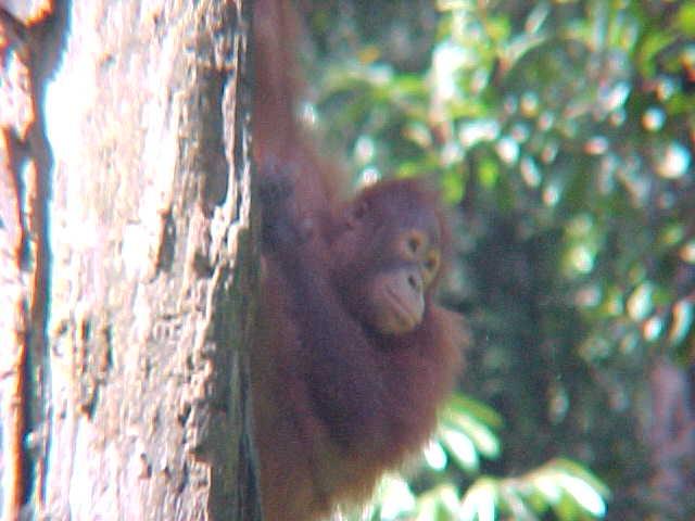 MVC-887S. Sepilok Orangutan Rehabilitation Centre, Sabah, Malaysia (The Travel Addicts, Malaysia)