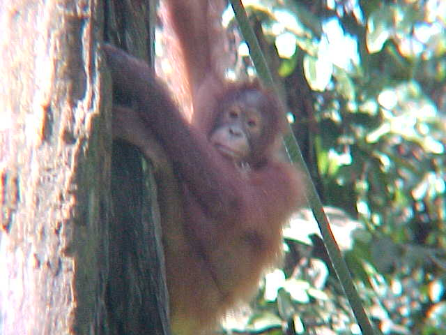 MVC-889S. Sepilok Orangutan Rehabilitation Centre, Sabah, Malaysia (The Travel Addicts, Malaysia)