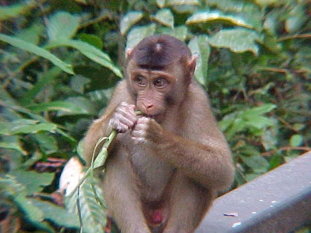 MVC-006S-Baby macaque. Sepilok Orangutan Rehabilitation Centre, Sabah, Malaysia (The Travel Addicts, Malaysia)