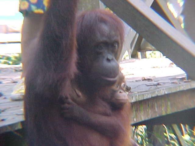MVC-008S. Sepilok Orangutan Rehabilitation Centre, Sabah, Malaysia (The Travel Addicts, Malaysia)