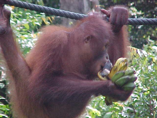 MVC-013S-Lunch!. Sepilok Orangutan Rehabilitation Centre, Sabah, Malaysia (The Travel Addicts, Malaysia)