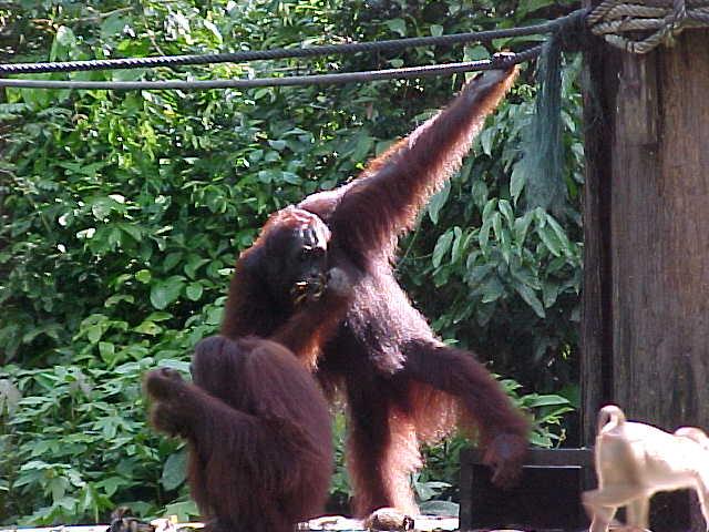 MVC-014S. Sepilok Orangutan Rehabilitation Centre, Sabah, Malaysia (The Travel Addicts, Malaysia)