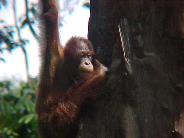 MVC-893S-Mother. Sepilok Orangutan Rehabilitation Centre, Sabah, Malaysia (The Travel Addicts, Malaysia)