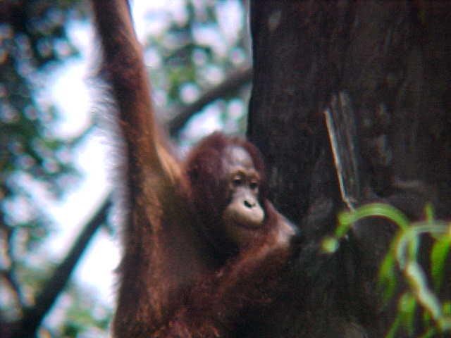 MVC-894S. Sepilok Orangutan Rehabilitation Centre, Sabah, Malaysia (The Travel Addicts, Malaysia)