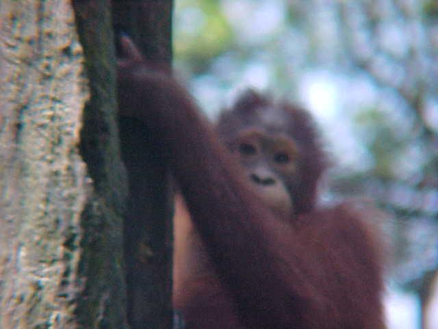 MVC-895S. Sepilok Orangutan Rehabilitation Centre, Sabah, Malaysia (The Travel Addicts, Malaysia)