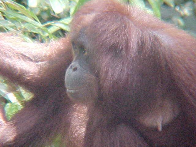 MVC-896S-Maya. Sepilok Orangutan Rehabilitation Centre, Sabah, Malaysia (The Travel Addicts, Malaysia)