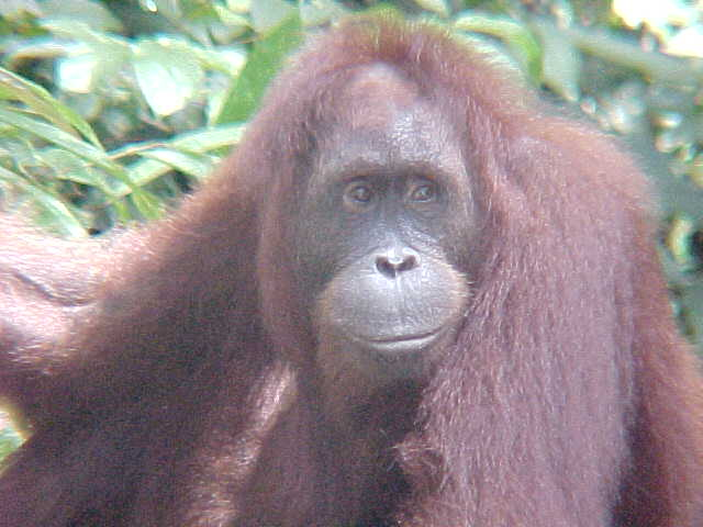 MVC-897S. Sepilok Orangutan Rehabilitation Centre, Sabah, Malaysia (The Travel Addicts, Malaysia)