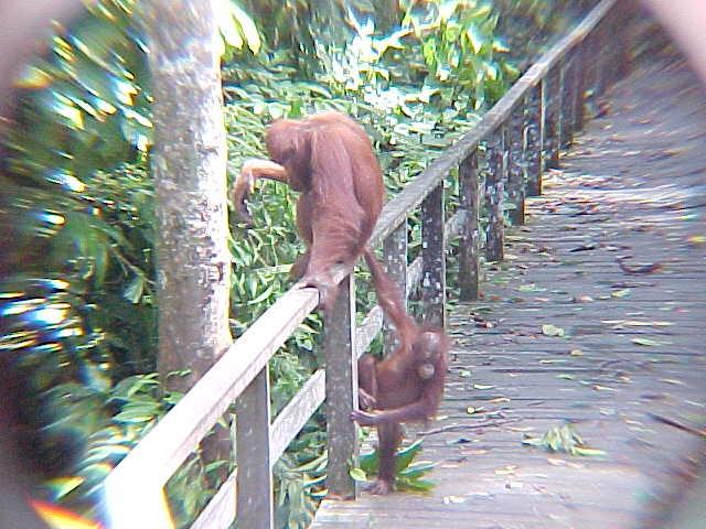 MVC-898S-Maya and child. Sepilok Orangutan Rehabilitation Centre, Sabah, Malaysia (The Travel Addicts, Malaysia)