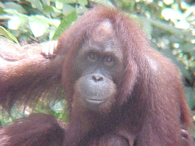 MVC-899S. Sepilok Orangutan Rehabilitation Centre, Sabah, Malaysia (The Travel Addicts, Malaysia)