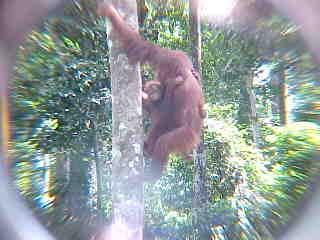 MVC-900E. Sepilok Orangutan Rehabilitation Centre, Sabah, Malaysia (The Travel Addicts, Malaysia)