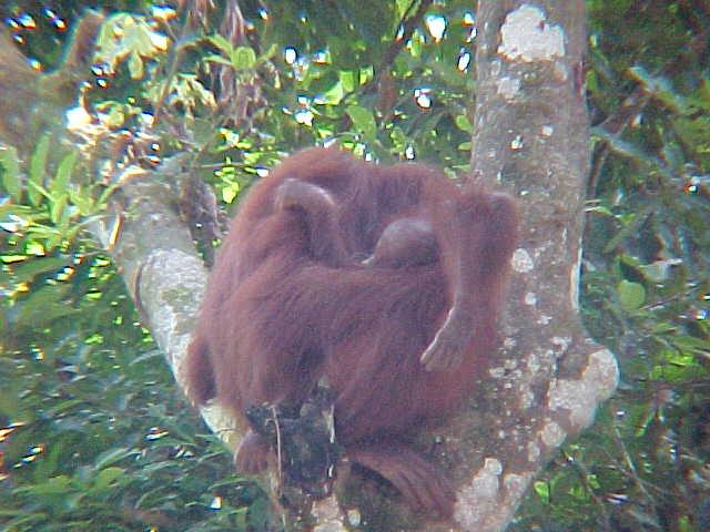 MVC-901S. Sepilok Orangutan Rehabilitation Centre, Sabah, Malaysia (The Travel Addicts, Malaysia)