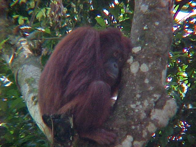 MVC-906S-Forelorn. Sepilok Orangutan Rehabilitation Centre, Sabah, Malaysia (The Travel Addicts, Malaysia)