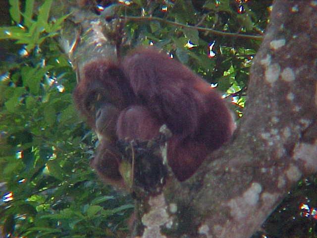 MVC-908S. Sepilok Orangutan Rehabilitation Centre, Sabah, Malaysia (The Travel Addicts, Malaysia)