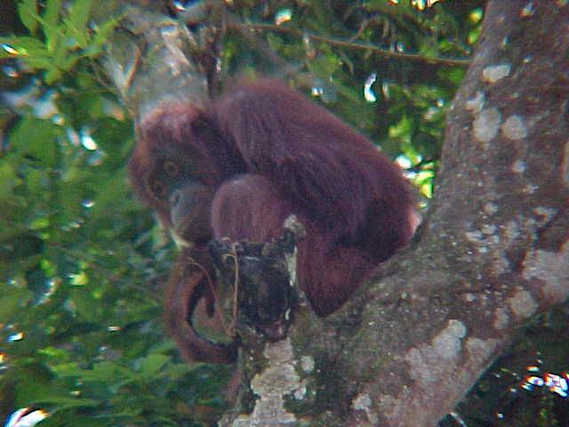MVC-909S. Sepilok Orangutan Rehabilitation Centre, Sabah, Malaysia (The Travel Addicts, Malaysia)