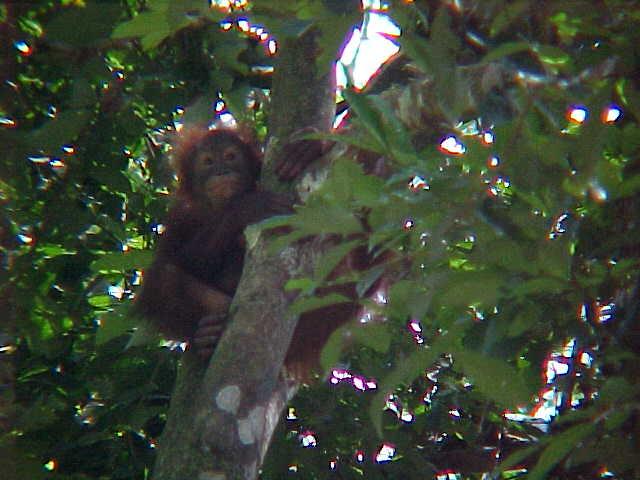 MVC-910S-Infant. Sepilok Orangutan Rehabilitation Centre, Sabah, Malaysia (The Travel Addicts, Malaysia)