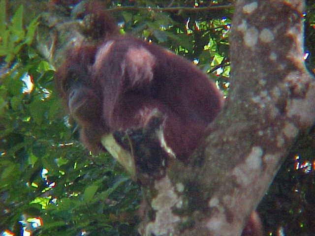 MVC-911S. Sepilok Orangutan Rehabilitation Centre, Sabah, Malaysia (The Travel Addicts, Malaysia)