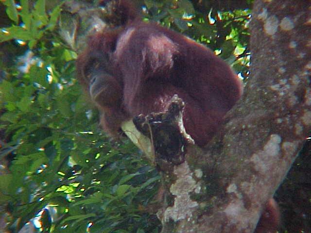 MVC-912S. Sepilok Orangutan Rehabilitation Centre, Sabah, Malaysia (The Travel Addicts, Malaysia)