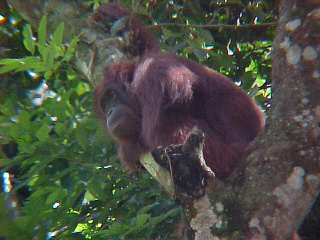 MVC-913S. Sepilok Orangutan Rehabilitation Centre, Sabah, Malaysia (The Travel Addicts, Malaysia)