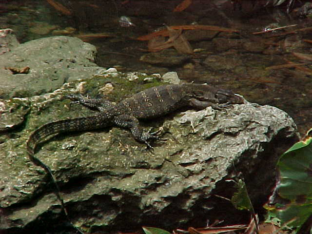 Monitor lizard (Malaysia, The Travel Addicts)