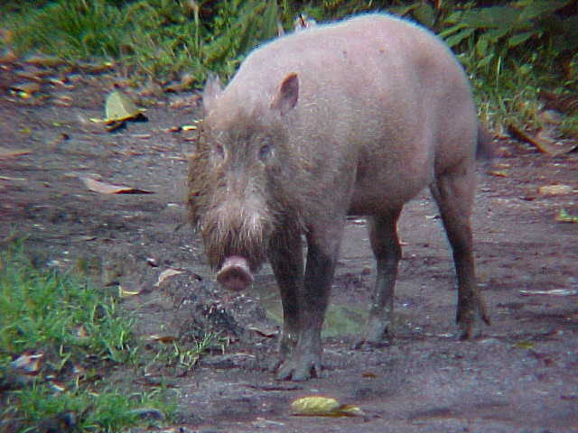 Bearded pig (Malaysia, The Travel Addicts)