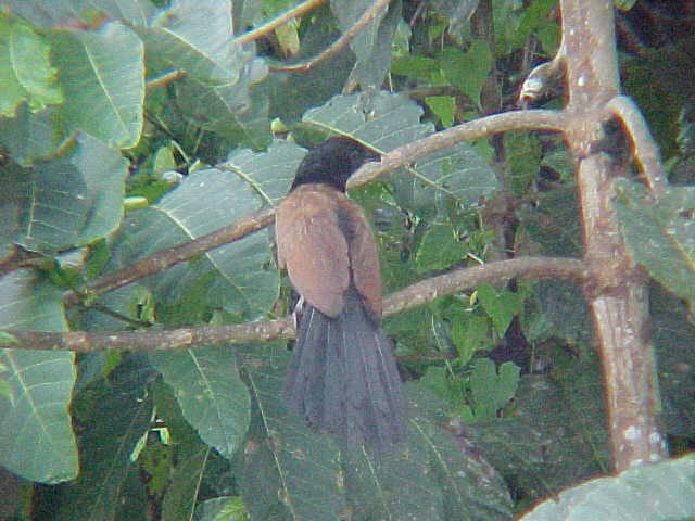 Greater coucal (Malaysia, The Travel Addicts)