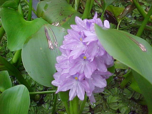 Water hyacinth in an Oxbow Lake (Malaysia, The Travel Addicts)