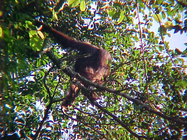 Wild orangutan (Malaysia, The Travel Addicts)