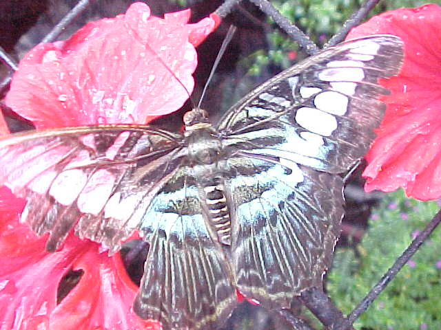 Glass Butterfly : It is alive folks! (Malaysia, The Travel Addicts)