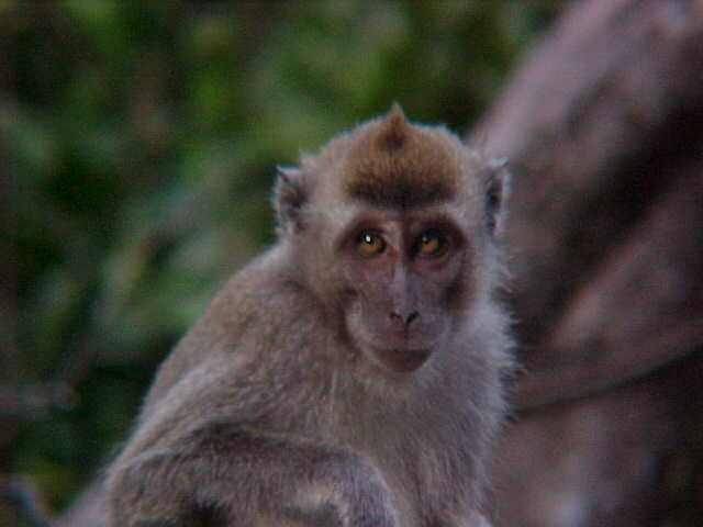 Another long tailed macaque (Malaysia, The Travel Addicts)