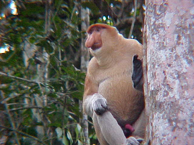 "Boner shot : The guide called this a ""Red Chili"" - apparently male probiscus monkeys are always sexually ready (Malaysia, The Travel Addicts)"